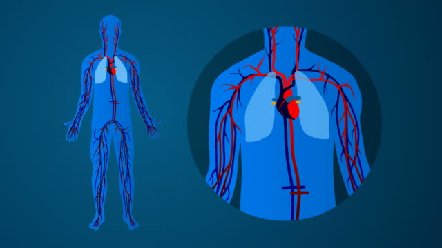 Human cardiovascular circulatory system: blue background A simplified, animation showing the human blood circulation system blood flow stock videos & royalty-free footage