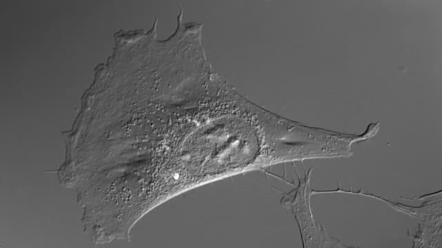 Human cell in culture video