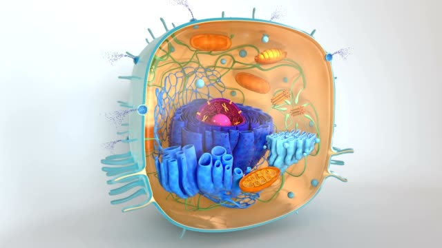 Human Cell Inner Structure
