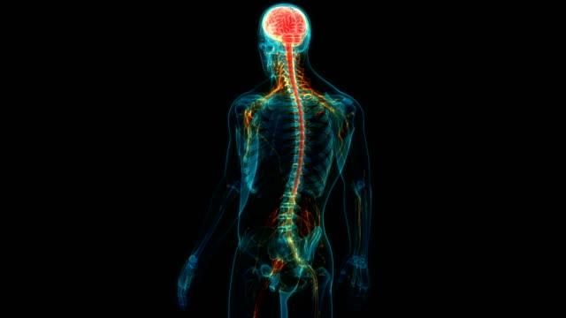 vídeos de stock e filmes b-roll de human central nervous system with brain anatomy - sistema nervoso humano