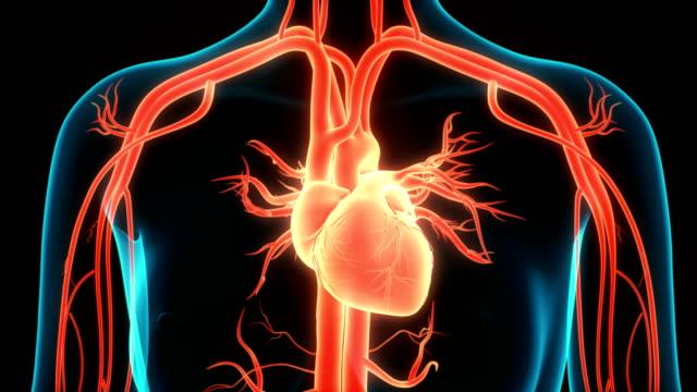 Human Circulatory System Heart Anatomy Animation Concept 3D Animation Concept of Human Circulatory System Heart Anatomy human heart stock videos & royalty-free footage