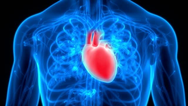 anatomia cardiaca del sistema circolatorio umano - cuore umano video stock e b–roll
