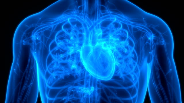 vídeos de stock e filmes b-roll de human circulatory system heart anatomy - ventrículo do coração