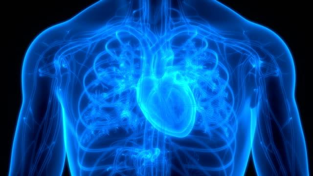 human circulatory system heart anatomy - serce człowieka filmów i materiałów b-roll