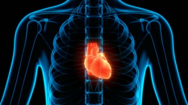 vídeos de stock e filmes b-roll de human circulatory system heart anatomy - coração humano