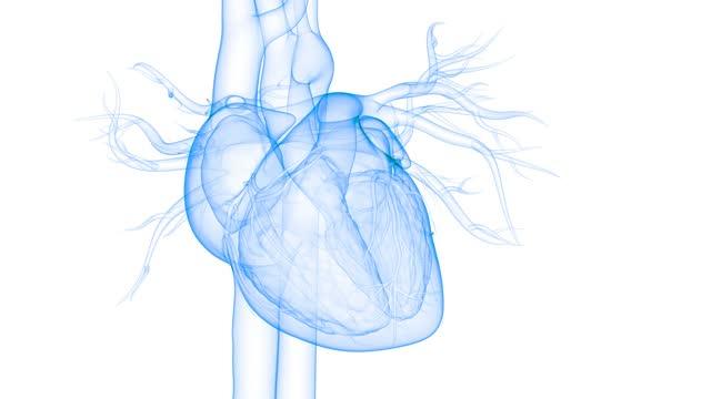 vídeos de stock e filmes b-roll de human circulatory system heart beat anatomy animation concept - coração