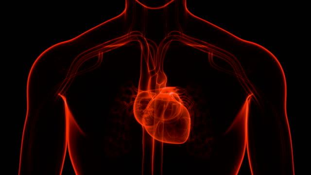 Human Circulatory System Heart Beat Anatomy 3D Animation Concept of Human Circulatory System Heart Beat Anatomy heart internal organ stock videos & royalty-free footage