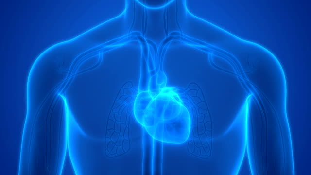 vídeos de stock e filmes b-roll de human circulatory system heartbeat anatomy - coração humano