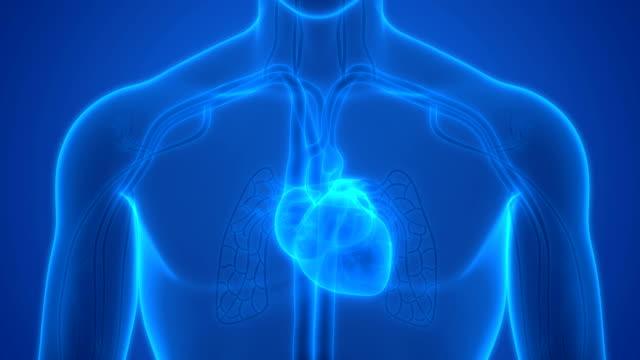 Human Circulatory System Heartbeat Anatomy 3D Illustration of Human Circulatory System Heartbeat Anatomy human heart stock videos & royalty-free footage