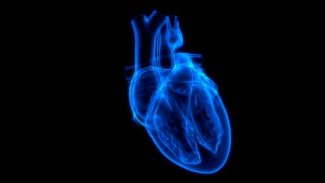 Human Circulatory System Heartbeat Anatomy 3D Animation Concept of Human Circulatory System Heartbeat Anatomy blood flow stock videos & royalty-free footage