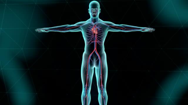 vídeos de stock e filmes b-roll de sistema circulatório com coração humano - sistema cardiovascular
