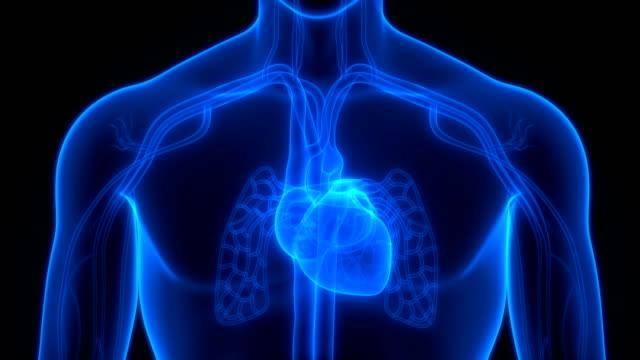 心拍解剖学を用いて人間循環系 - 心臓点の映像素材/bロール