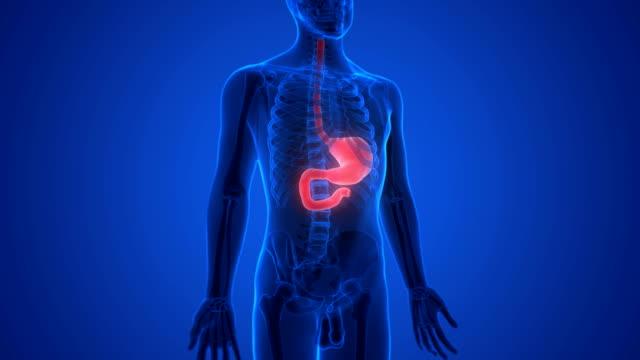 vídeos de stock, filmes e b-roll de sistema digestivo humano estômago anatomia - estômago