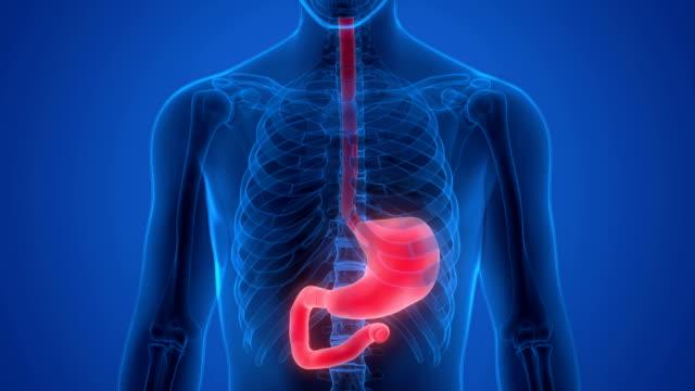 menschlichen verdauungssystems magen anatomie - magen stock-videos und b-roll-filmmaterial
