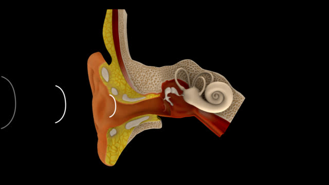 Human Ear The ear is the organ that detects sound. It not only receives sound, but also aids in balance and body position. The ear is part of the auditory system. ear stock videos & royalty-free footage