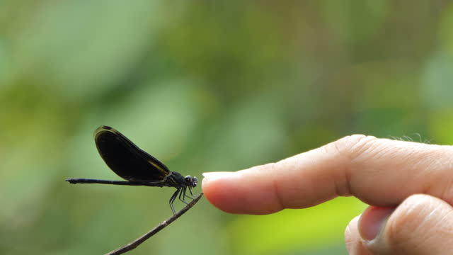 Human finger touching dragonfly on branch. video