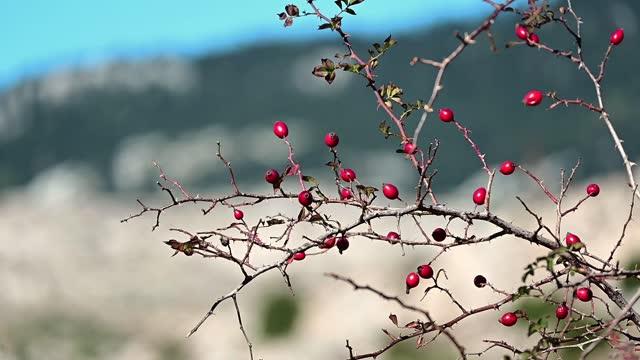 人間の手は自然の中で犬のバラの種を摘んでいます。 - イヌバラ点の映像素材/bロール