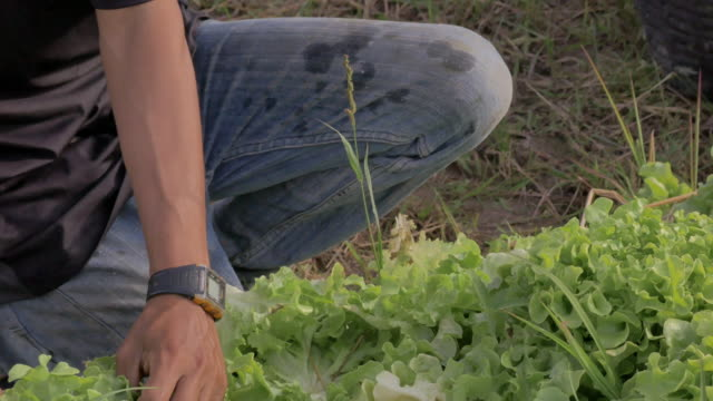 Human hand picking lettuce. Cultivated vegetable in organic farm Human hand picking lettuce. Cultivated vegetable in organic farm lettuce stock videos & royalty-free footage