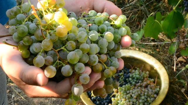 Human hands gathering grapes video