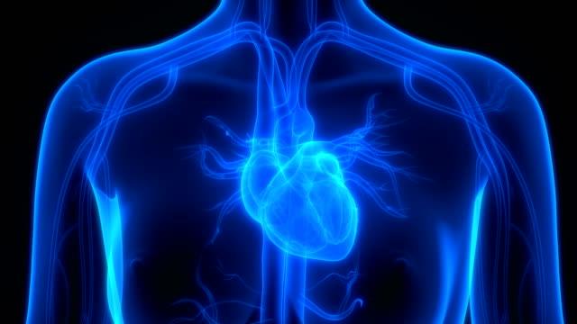 Human Heart Anatomy 3D Illustration of Human Heart Anatomy heart internal organ stock videos & royalty-free footage