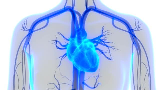 vídeos de stock e filmes b-roll de human heart anatomy - aorta