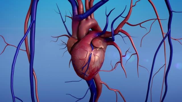 vídeos de stock e filmes b-roll de human heart anatomy - ventrículo do coração