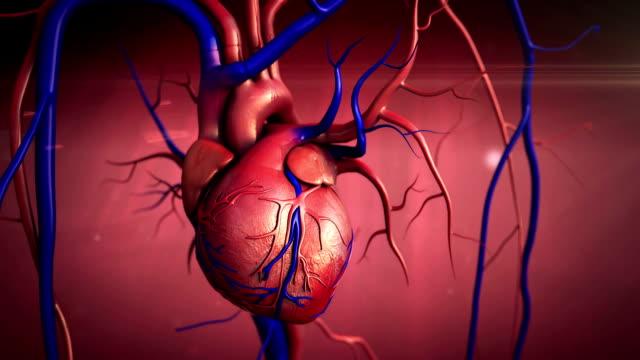 vídeos de stock e filmes b-roll de anatomia do coração humano - ventrículo do coração