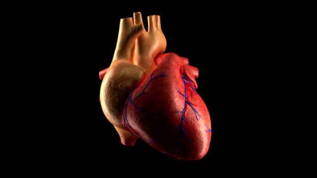 Royalty free heart internal organ hd video 4k stock footage b human heart beat alpha channel video female human the internal organs ccuart Gallery