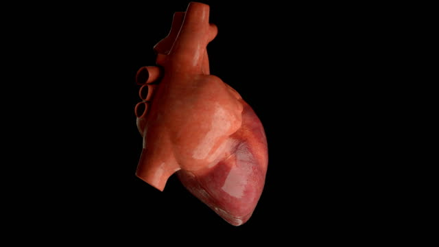 Human heart beating, loop View of human heart beating and rotating 360 degrees in loop blood vessel stock videos & royalty-free footage