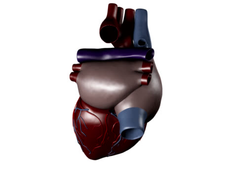 vídeos de stock e filmes b-roll de coração humano aos médicos do estudo - ventrículo do coração