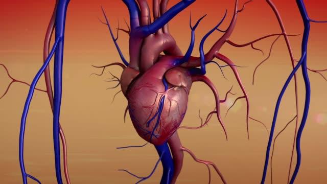 vídeos de stock e filmes b-roll de human heart model and the blood vessels - ventrículo do coração