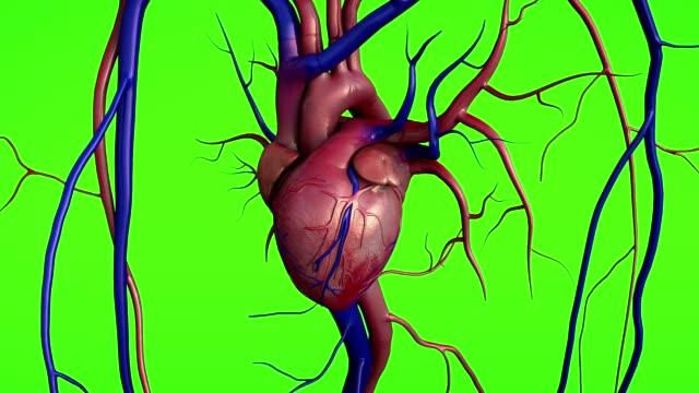 vídeos de stock e filmes b-roll de human heart model on a green screen - veia