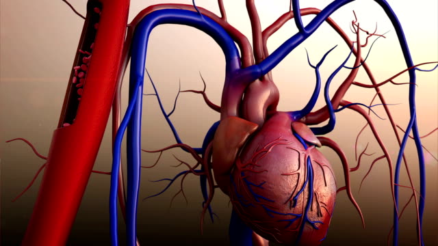 Human heart model Human heart, Full clipping path included, Heart Anatomy, 4K animation of Human heart blood vessel stock videos & royalty-free footage