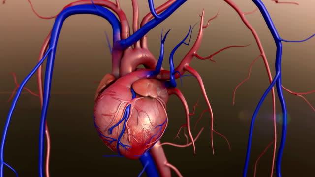 vídeos de stock e filmes b-roll de coração humano modelo - sistema cardiovascular