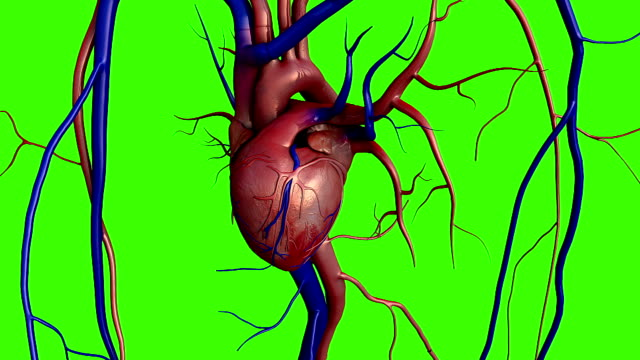 Human heart model heart on a chroma key, Full clipping path included, Human heart for medical study, Human Heart Anatomy, scar on a heart, heart after heart attack human heart stock videos & royalty-free footage