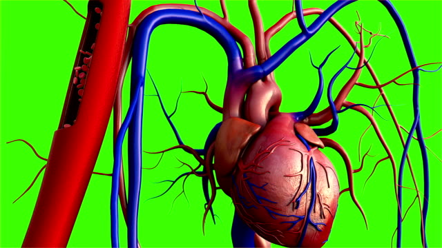 vídeos y material grabado en eventos de stock de corazón humano sobre fondo verde - vaso sanguíneo