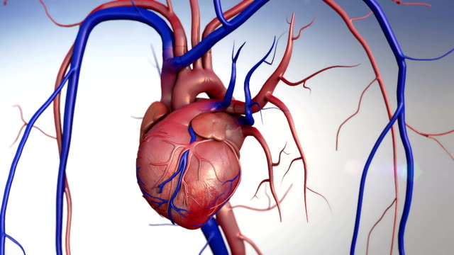 Human Heart heart, Human heart model, Human Heart Anatomy, Artery, artery shown with a cut out section,  High quality rendering with original textures and global illumination, Contraction of blood vessels  blood flow stock videos & royalty-free footage
