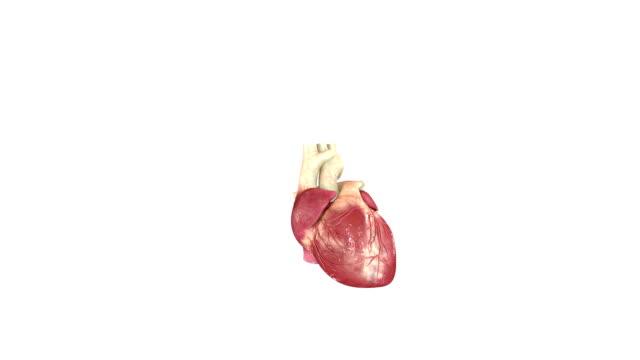 人の心臓 - 人の筋肉点の映像素材/bロール