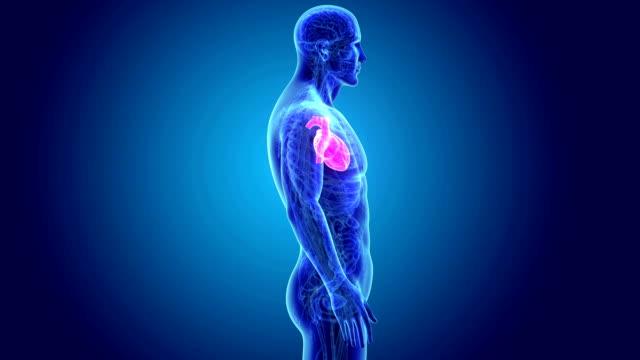 vídeos de stock e filmes b-roll de human heart with anatomy - ventrículo do coração