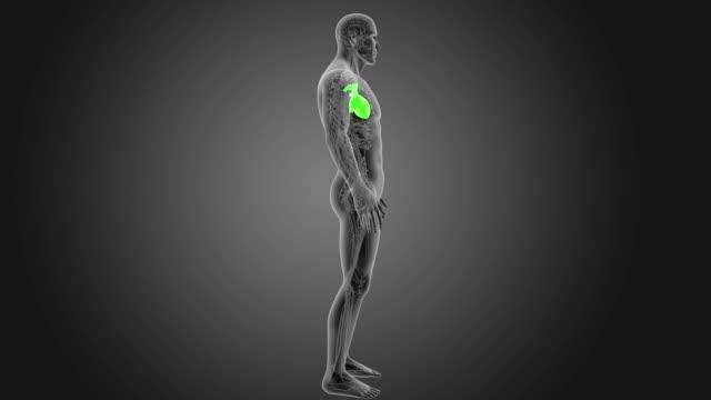 vídeos de stock e filmes b-roll de human heart with circulatory system - ventrículo do coração