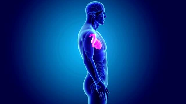 vídeos de stock e filmes b-roll de human heart with organs - ventrículo do coração