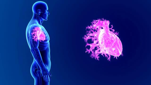 vídeos de stock e filmes b-roll de human heart with skeleton - ventrículo do coração