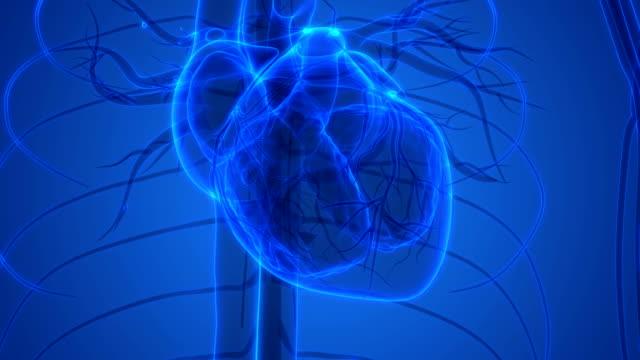 Human Heartbeat Anatomy 3D Illustration of Human Heartbeat Anatomy human heart stock videos & royalty-free footage