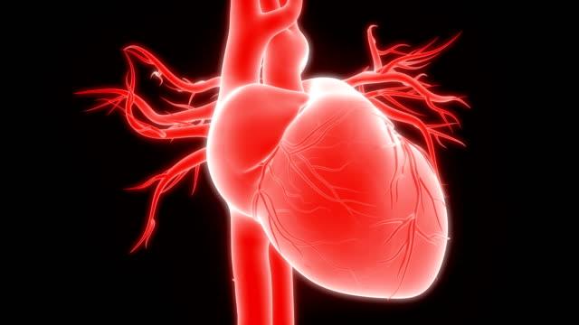 vídeos de stock e filmes b-roll de human heartbeat anatomy - ventrículo do coração