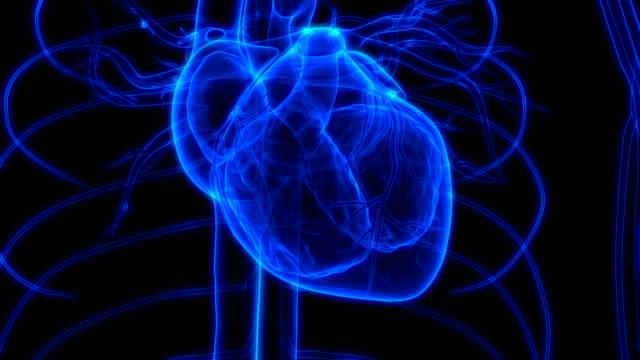 Human Heartbeat Anatomy