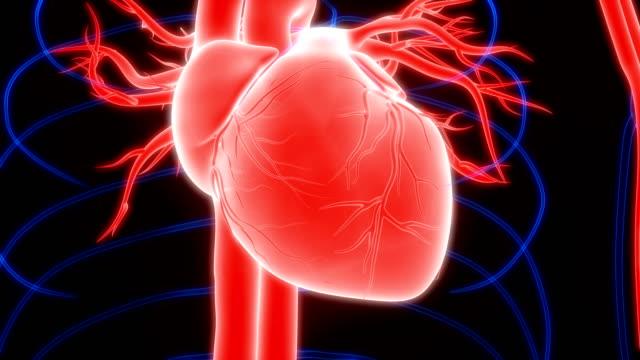 vídeos de stock e filmes b-roll de human heartbeat anatomy - aorta