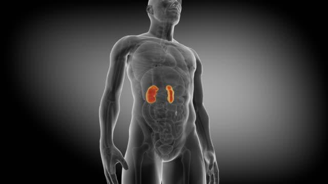 vídeos de stock, filmes e b-roll de rim humano. a animação medicamente precisa dos rins - rim órgão interno