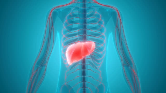 Human Liver Anatomy Stock Video More Clips Of Abstract 1000316542