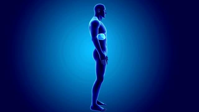 vídeos de stock e filmes b-roll de human liver with body - aorta
