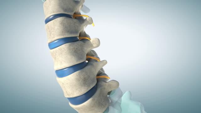 Human lumbar spine model demonstrating normal discs